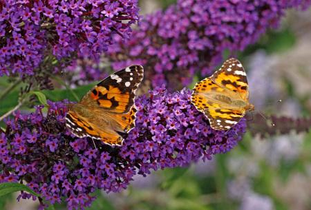 Vlinderstruik - set van 3 of 6 stuks | Prachtige Buddleja vlinderplanten