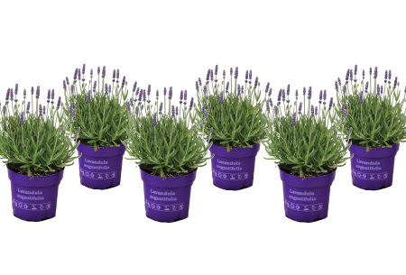 Set van 6 lavendelplantjes   Prachtige en heerlijk geurende buitenplanten