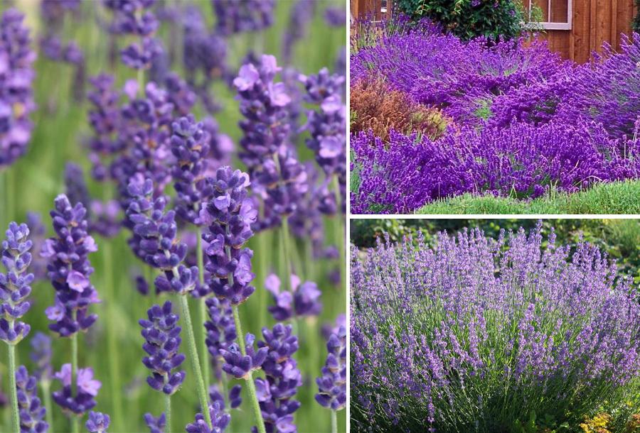 Lavendelplanten nu met 60% korting