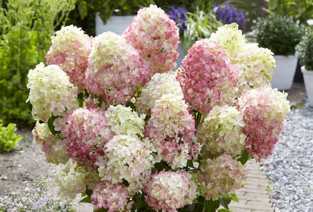 Set van 2 pluimhortensia's   Rode of witte Hydrangea voor buiten