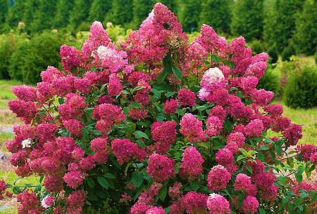 Set van 2 pluimhortensia's   Rode of witte Hydrangea voor buiten Rood