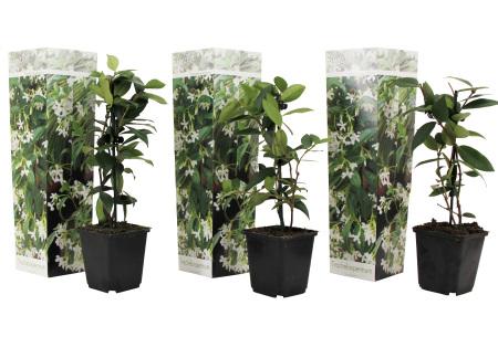 Toscaanse jasmijn | Set van 3 of 6 prachtige klimplanten