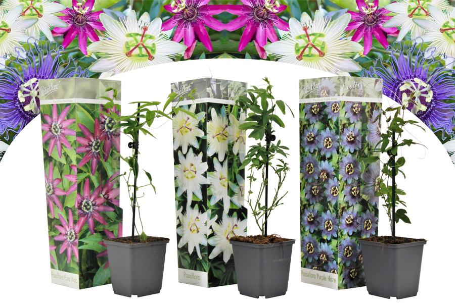 Set van 3 of 6 passiebloemen Set van 3