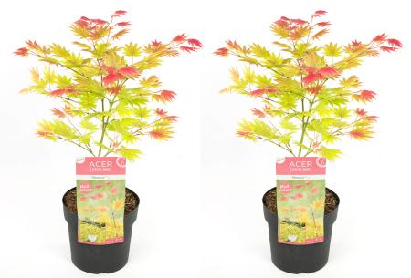 Japanse esdoorn moonrise   Exclusieve tweekleurige plant - 1 of 2 stuks 2 stuks