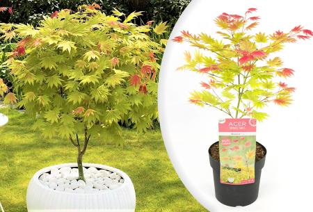 Japanse esdoorn moonrise   Exclusieve tweekleurige plant - 1 of 2 stuks