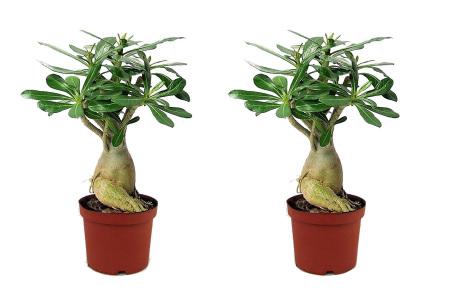 Set van 2 adenium woestijnrozen   Voor een zomerse look in huis
