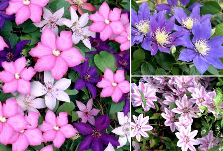 Clematis klimplanten | Kleurrijke tuinplanten in een set van 3 of 6