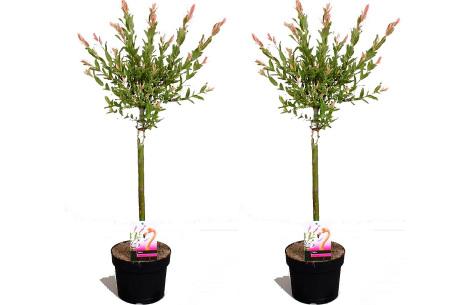 Set van 2 salix flamingo boompjes   Salix op stam in 2 formaten 70-80 cm