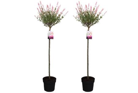 Set van 2 salix flamingo boompjes   Salix op stam in 2 formaten 120-140 cm