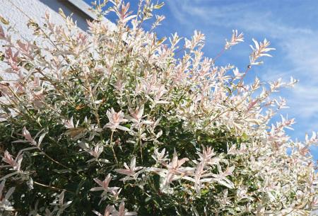 Set van 2 salix flamingo boompjes   Salix op stam in 2 formaten