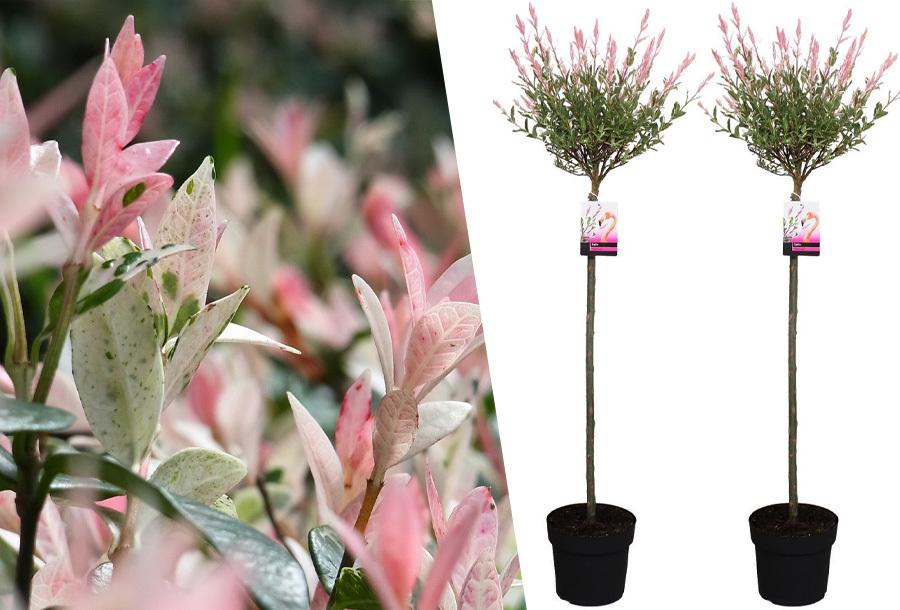 Salix boompjes in de aanbieding