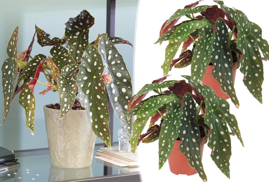 Set van 2 begonia kamerplanten met korting!