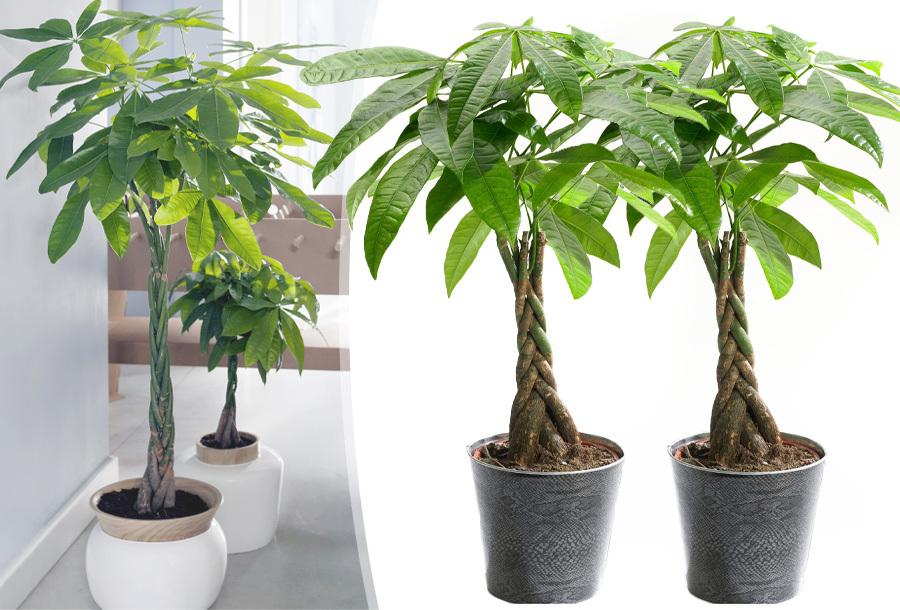 Pachira boompjes met korting