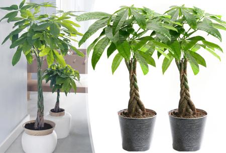 Set van 2 pachira boompjes | Superleuke geldboompjes voor in huis