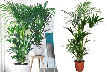 Kentia palm | Grote kamerpalm voor in huis of op kantoor
