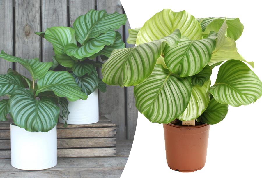 Calathea orbifolia kamerplant kopen doe je hier!