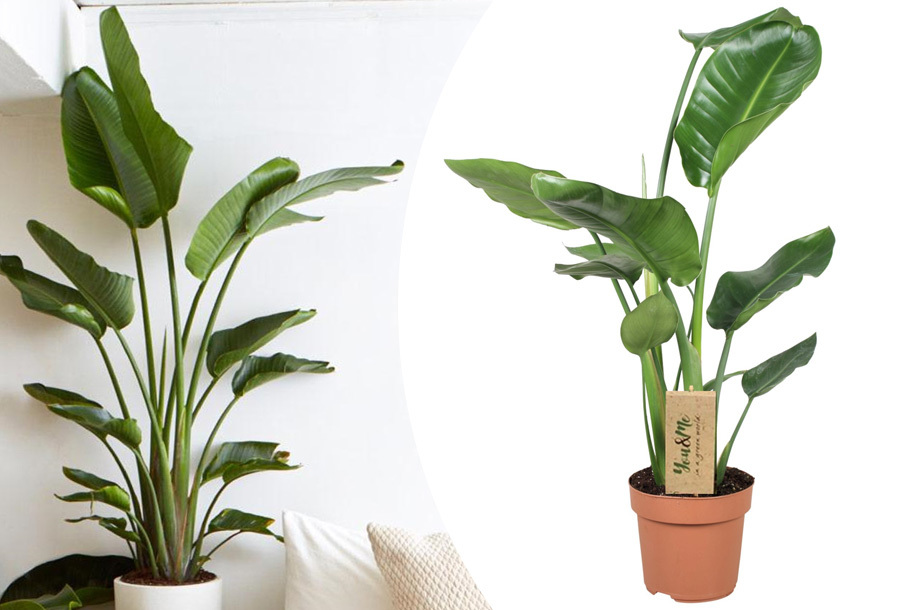 Strelitzia Nicolai kamerplant met 62% korting